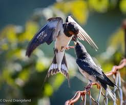Barn Swallow Feeding - By David Drangsland | Avian | Pinterest ... Union Bay Watch Surround Sound The Color Is So Beautiful Birds Pinterest Tree Swallow Easy Tips To Attract Swallows Swifts And Martins Feather Tailed Stories 2017 Barn Swallow Migration Annual Cycle Audubon Guide North American Fledgling Feeding Time Youtube Petting A Baby Hinterland Whos Who Eating Insects Barn Nextdoor Nature