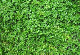 Carpet Grass Florida by Fields Of Green 5 Favorite Lawn Substitutes Gardenista
