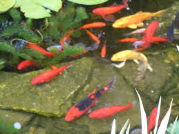 Fish Care And Treatments – Aquascapes Adrie Baumann And Aquascaping Aqua Rebell Natural Httpwwwokeanosgrombgwpcoentuploads2012 Amazoncom Aquarium Plant Glass Pot Fish Tank Aquascape Everything About The Incredible Undwater Art Outstanding Saltwater Designs Photo Ideas Anubias Nana Petite Planted Freshwater Beautify Your Home With Unique For Large Fish Monstfishkeeperscom Scape Nature Stock 665323012