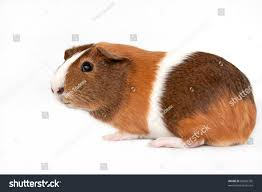 Can Guinea Pigs Eat Pumpkin Seeds by This Picture Brown White Orange Guinea Stock Photo 83882335