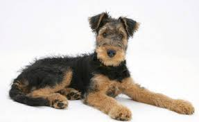 Do Airedale Puppies Shed by Airedale Terriers Breed Information Facts Pictures Temperament