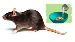 GET RID OF RATS USING THIS 3 HOME METHODS - YouTube Mice How To Identity And Get Rid Of In The Garden Home Rats Guaranteed 4 Easy Steps Youtube Does Peppermint Oil Repel Yes Best 25 Getting Rid Rats Ideas On Pinterest 8 Questions Answers About Deer Hantavirus Mouse Control To Of In The Keep Away From Bird Feeders Walls 2 Quick Ways That Work Get Rid Of Rats Using This 3 Home Methods Naturally Dangers Rat Poison Dr Axe Out Your Without Killing Them