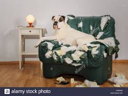 Boxer Dog Destroyed A Leather Armchair. Dog Alone At Home Damaged ... Faux Suede Pet Fniture Covers For Sofas Loveseats And Chairs Comfort Research Big Joe Bagimals Dawson The Dog Bean Bag Armchair Shih Tzu Lap On The Stock Photo Image 350298 Dog Cat Chamomile Amazoncom Sure Fit Quilted Throw Sofa Slipcover Taupe King Sitting His Throne 1018169 Shutterstock Antique Asian Chair Chinese Export Wood Carved Dragon Lion Foo Me My Dogcat Fold Out Bed With Protector Available In Dogs Amazoncouk Boxer Destroyed A Leather Armchair Alone At Home Damaged Hound Buttonback Occasional Loaf