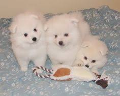american eskimo puppies american eskimos for sale trussville
