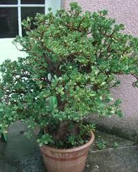 entretien plante grasse d interieur arbre de jade crassula ovata arrosage taille entretien