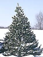 Best Kinds Of Christmas Trees by Christmas Tree Types The Christmas Tree Often Becomes The Center