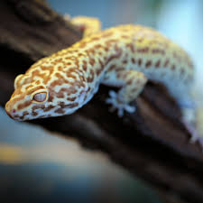 Do Leopard Geckos Shed by Guide To Keeping A Leopard Gecko Monkfield Nutrition Monkfield