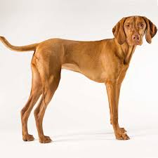 Chesapeake Bay Retriever Vs Lab Shedding by Labrador Retriever Vs Vizsla Complete Breed Comparison