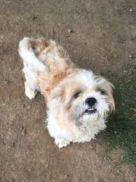 Lhasa Apso Poodle Mix Shedding by Van Nuys Ca Shih Tzu Meet Ollie A Dog For Adoption