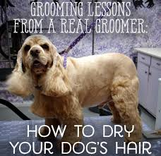 Dogs That Dont Shed Or Stink by Lessons From A Groomer How To Dry Your Pet Correctly Pethelpful