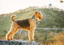Dogs That Dont Shed Hair Much by 4 Gorgeous Breeds Of Curly Coated Dogs Pets4homes
