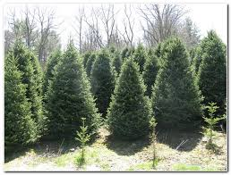 Fraser Fir Christmas Trees Nc by Quailty Fraser Fir Christmas Trees About Us