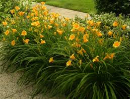 how to keep stella de oro daylilies blooming all season dengarden