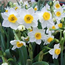 narcissus sacred easy to grow bulbs