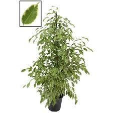 birkenfeige ficus benjamina golden king 140 150 cm zimmerpflanze