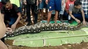 grausige entdeckung diese schlange hat eine frau komplett verschluckt