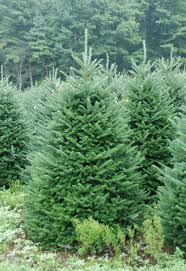 Fraser Fir Christmas Trees Nc by Pictures Of North Carolina Fraser Fir Christmas Trees