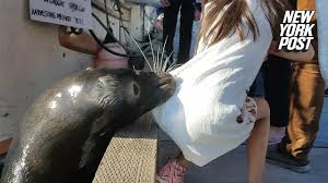 Dresser Rand Leading Edge Houston by Sea Lion Grabs Off Pier And Drags Her Into The Water New