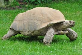 Snapping Turtle Shell Shedding by Where Can I Find Turtles Turtleholic