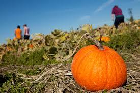 Sauvies Island Pumpkin Patch Corn Maze by Turn Corn Mazes Into A Family Fitness Adventure