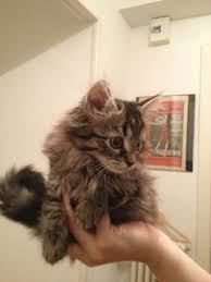 Do Maine Coons Shed In The Summer by My Friend U0027s New Kitten Leo 6 Weeks Old Half Maine Coon Aww