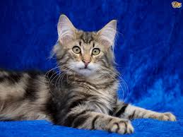 forest cat vs maine coon the difference between forest and maine coon cats
