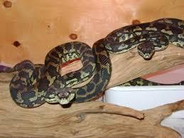 Coastal Carpet Python Facts by Central Carpet Python Carpet Vidalondon