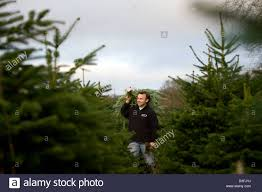 Nordmann Fir Christmas Trees Wholesale by Christmas Tree Plantation Stock Photos U0026 Christmas Tree Plantation
