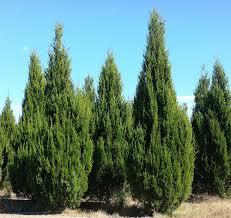 Christmas Tree Farm Eustis Fl by Locate U0026 Find Wholesale Plants Plantant Com