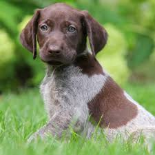 German Wirehaired Pointer Shedding by German Shorthaired Pointer Puppies For Sale Greenfield Puppies