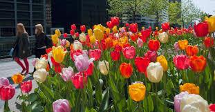 bureau ups tulip darwin hybrid blend big ups from colorblends wholesale