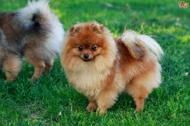 Do Bichon Pomeranians Shed by Pomeranian Dog Breed Information Buying Advice Photos And Facts