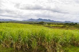 Download Sugar Cane Plantation On Cuba Stock Image