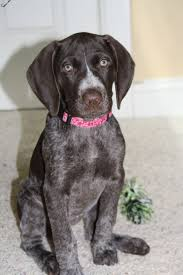 German Shorthaired Pointer Shedding by 487 Best Bird Dogs Images On Pinterest Hunting Dogs Waterfowl