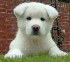 do haired akitas shed everything about your akita my dogs