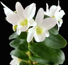 sehr schöne orchidee für das helle halbschattige fenster im