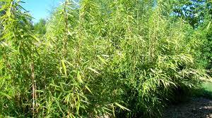pflanz saatgut bambus als sichtschutz im garten und als