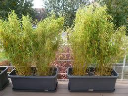 entretien des bambous en pot bambou entretien pot pivoine etc