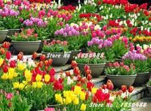 5 pcs tulip bulbs multi color greenhouse planting perennial