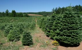 75 Douglas Fir Artificial Christmas Tree by Christmas Tree Production Wikiwand
