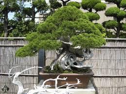 pot bonsai grande taille top 10 bonsaïs d exception bonsai empire