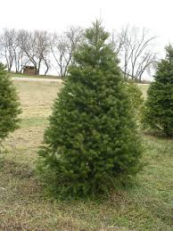 Canaan Fir Good Christmas Tree by Christmas Tree Descriptions