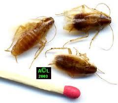 petites betes dans la maison les blattes