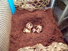 Do Hermit Crabs Shed by Hermit Crab Molt Critters And Chaos