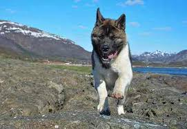 Do Akita Dogs Shed Hair by American Akita Dog Breed Profile