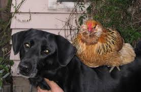 Salmonella And Backyard Chickens: Are Your Pets In Danger? What ... The 25 Best Salmonella Symptoms Ideas On Pinterest Memes True Pharmacologist Warns That Eggs From Backyard Chickens Pose Chicken Chick Salpingitis Lash Eggs In Backyard Chickens Raising Chickenswhat You Need To Know Penn State Food Safety Blog And The Higher Risk Health Concerns When Tending Tahoetruckee Nationwide Salmonella Outbreak Linked Pet Makes 611 Sick Nbc News Outbreaks 47 States How Not Get Your Chicken