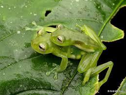 100 King Of The Frogs Glassfrog In Amplexus Teratohyla Midas Of Ecuador