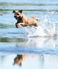 Border Terrier Non Shedding by Border Terrier Dog Breed Information Pictures Characteristics