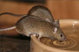 souris dératisation éliminer éradiquer exterminer souris