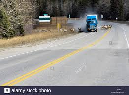 A Semi Truck Driving Off The Road Trying To Avoid A Herd Of Bighorn ... Kenworth 2001 On Semi Truck Steering Wheel Chrome Hub Horn Classic Trucks For Sale Truckdowin Air Freightliner Train Horns Big Rigs Boats Best Peterbilt Youtube Dodge Big Horn Bighorn Trucks Wolo Mfg Corp Air Horns Horn Accsories Comprresors 4 State On Twitter Turn That Down Said No Truck Driver 1989 July 2006 European Horns